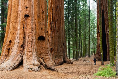 najvece drvo na svetu sad